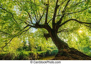 Large Negundo maple tree