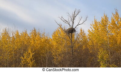 Large nest on a dry tree in the autumn forest among yellow leaves
