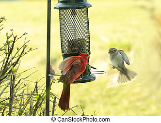 Large Northern Red Cardinal at Feeder while Sparrow Approaches