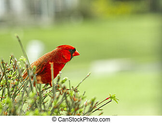 Large Northern Red Cardinal being cautious while perched on a bush