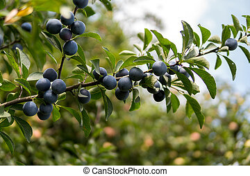 fruits of damson plum - large number of fruits of damson ...