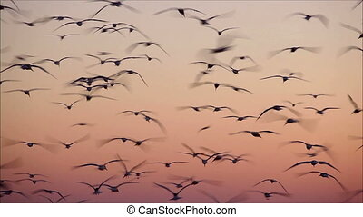 large number of gulls flying against the evening sky 3