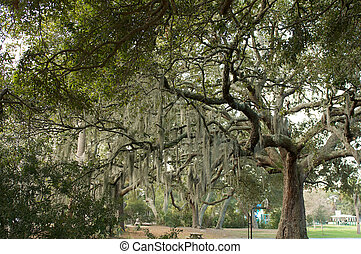 Large Oak Tree with Spanish Moss Hanging From Branches
