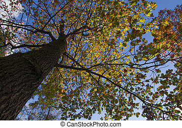 Large oak tree with yellow autumn leaves on a blue sky background