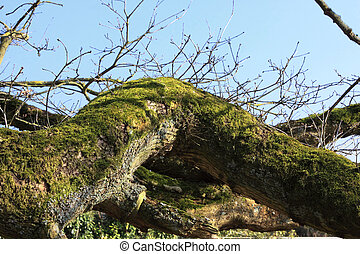 large old oak in the winter sun