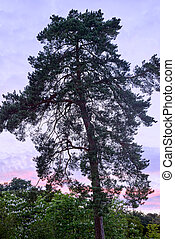 large old pine