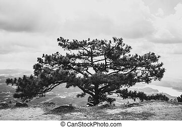 large old pine, standing alone