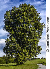 Large old poplar tree.