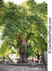 Large old tree in Turkey