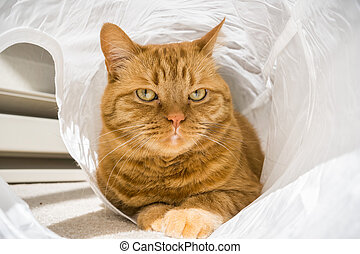 Large orange cat posing for the camera while in a cat tunnel