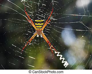 Large orange tropical spider with torso yellow color in a black stripe sits in the cobweb of its cobweb.