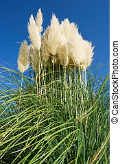 Large bunch of pampas grass under clear blue sky