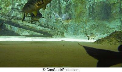 Large Pangasius and Other Fish at a Public Aquarium. video -...