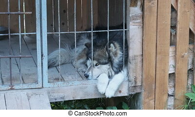 Large pedigree dog Lie in a large booth behind bars on the street. Dog in cages on the back rural yard. Summer.