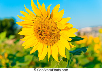 large picture of a sunflower against the sky