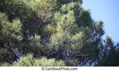 pine tree - large pine tree on a windy day