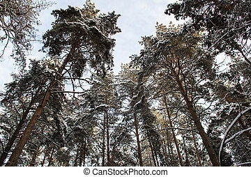 Large pine trees in the winter forest in Russia