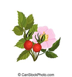 Large pink flower with rosehips on a white background. Vector illustration.