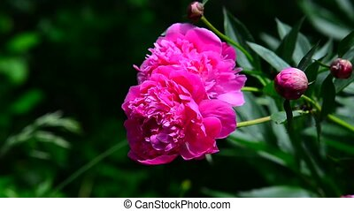 Large pink peony flower on flowerbed