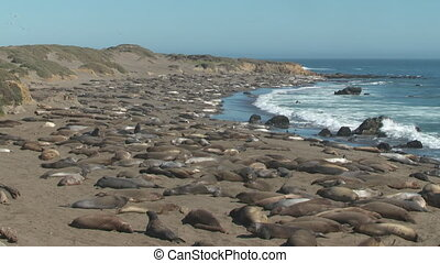 Large Pod of Seals Laying on Shoreline - Steady, medium wide...
