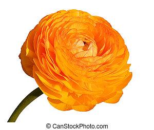 large poppy flower