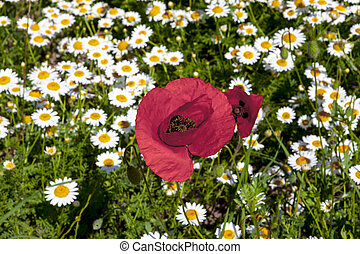 Large poppy flower on a field of daisies. Beautiful floral ...