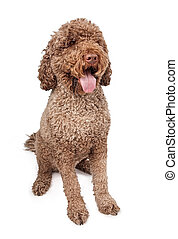 Portuguese Water Dog - Large Portuguese Water Dog isolated...