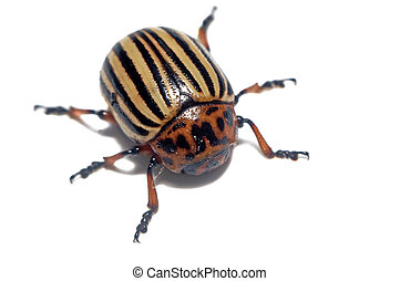Large potato beetle close up isolated
