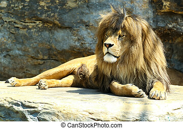 Large, powerful male lion
