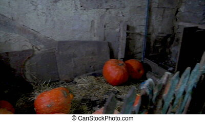Large pumpkins are in the old barn. Anticipation of a miracle