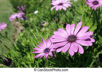 Large purple daisy