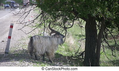 Large Ram Stands on its Hind Hooves and Eat the Leaves of a...