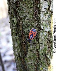 large red black beetle on the bark of a tree