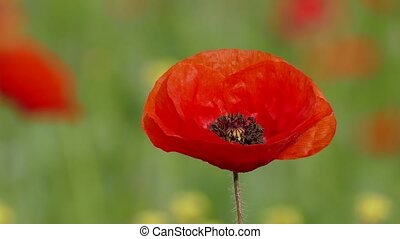 Large red bud of a poppy flower - A large red bud of a poppy...