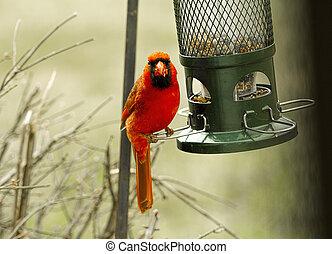 Red cardinal by birdfeeder