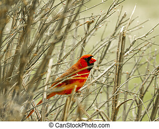 Large red cardinal in branches on a bush. Nature image