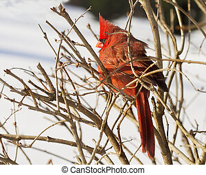 Large Red Cardinal - Large red cardinal sits in branches ...