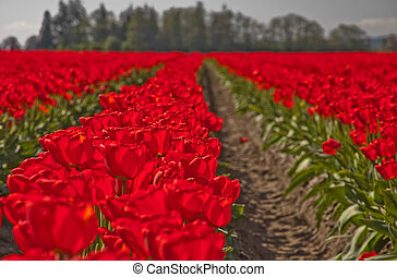 Large Red Springtime Tulip Field of Flowers