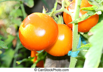 Large red tomatoes growing on a bush.