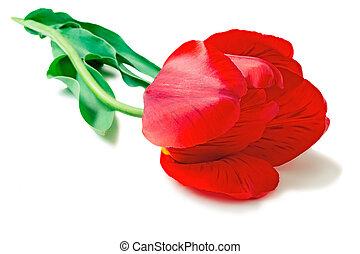 Large red tulip on a white background.