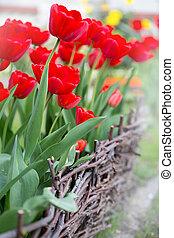tulips in the spring garden