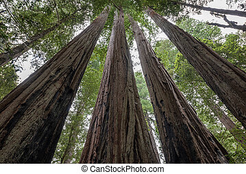 Beautiful tall Redwood Trees in Jedediah Smith State Park, California