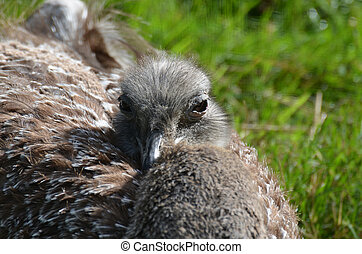 Large Rhea Resting in the Sunlight on a Grassy Field - Large...