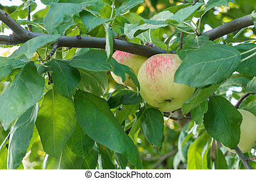 Large ripe apple on a tree branch in an orchard.