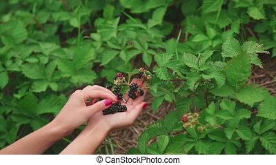 Large ripe blackberries - Young woman plucks berries...
