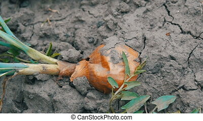 Large ripe onion with green feathers lies on the ground - A...