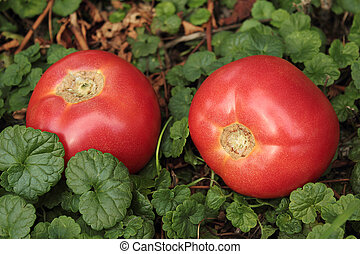 Large ripe tomatoes lying on the grass.