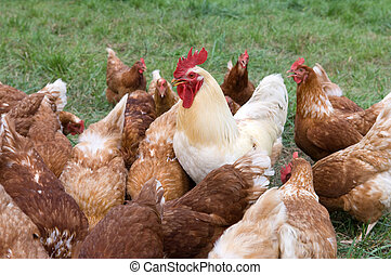 Large rooster and hens - A large rooster stands among a...