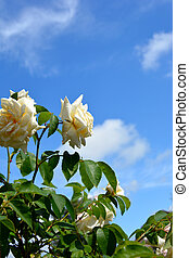 Large roses against a blue sky. Rose Bush on a background of green foliage. Flowering shrubs in the garden design.