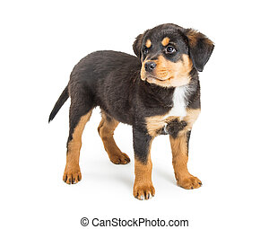 Large Rottweiler Crossbreed Puppy Standing on White